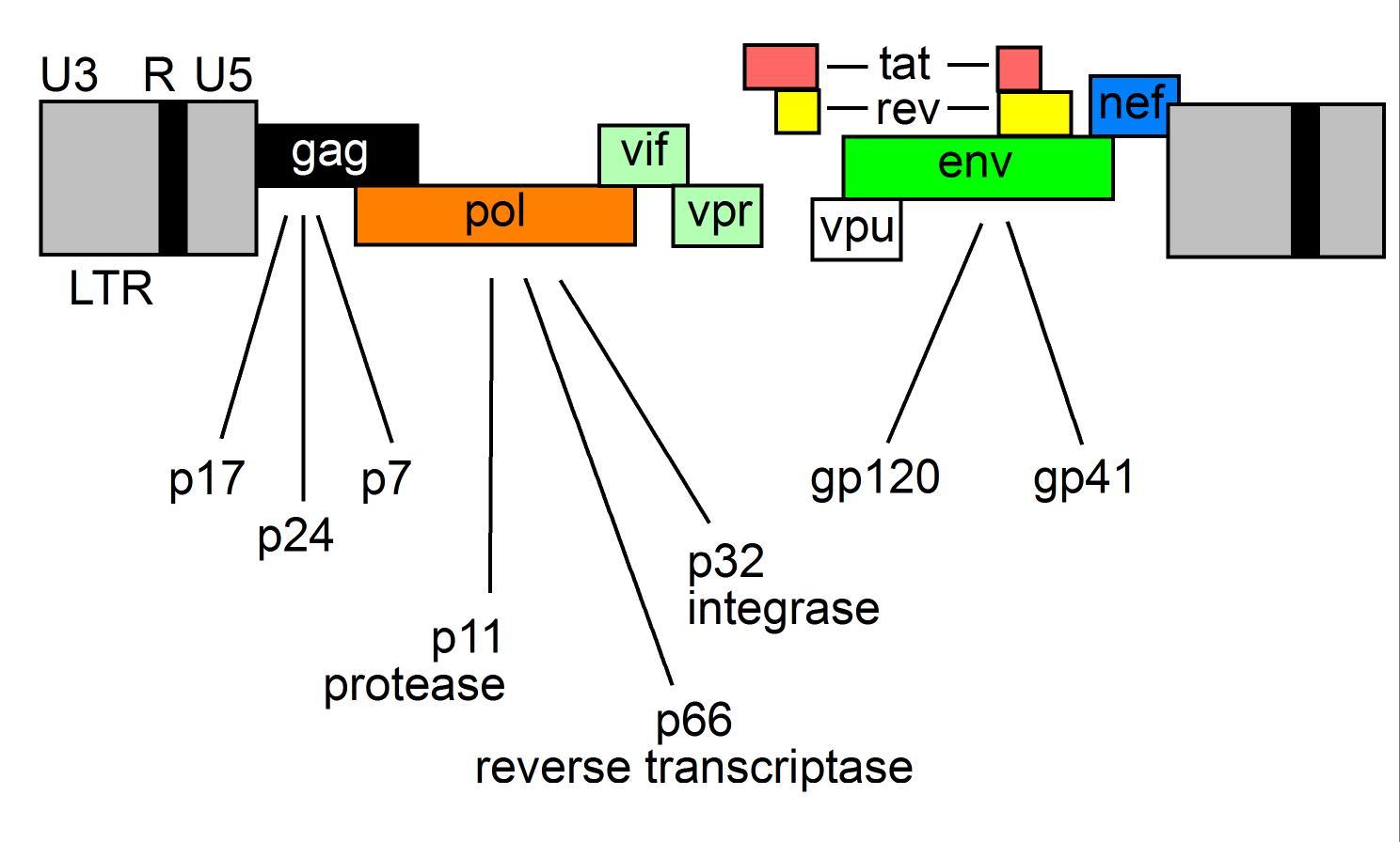 structure of HIV-1 | hivbook.com