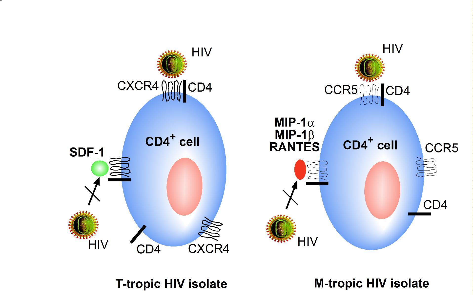 CD4 receptor | hivbook.com
